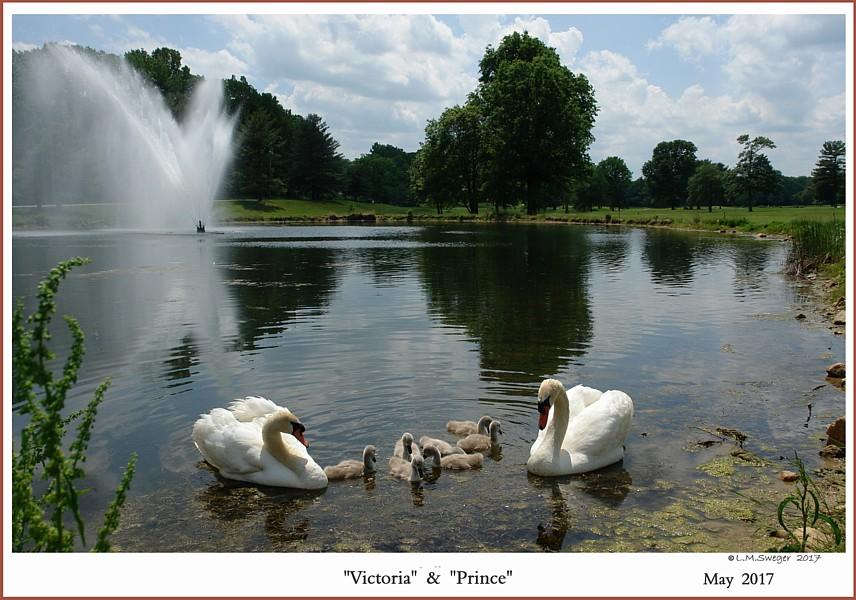Mute Swan Family Victoria Prince