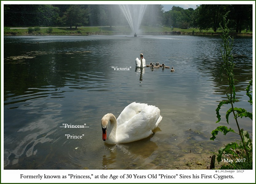 Sex Determination for Swans