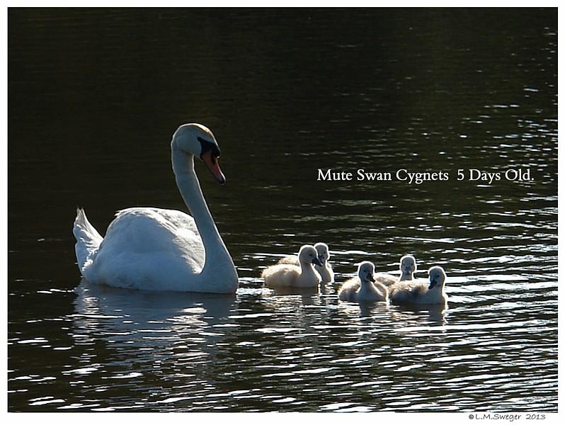 Tiny Mute Swan Cygnets