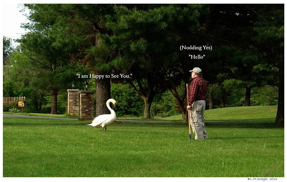 Greeting a Swan