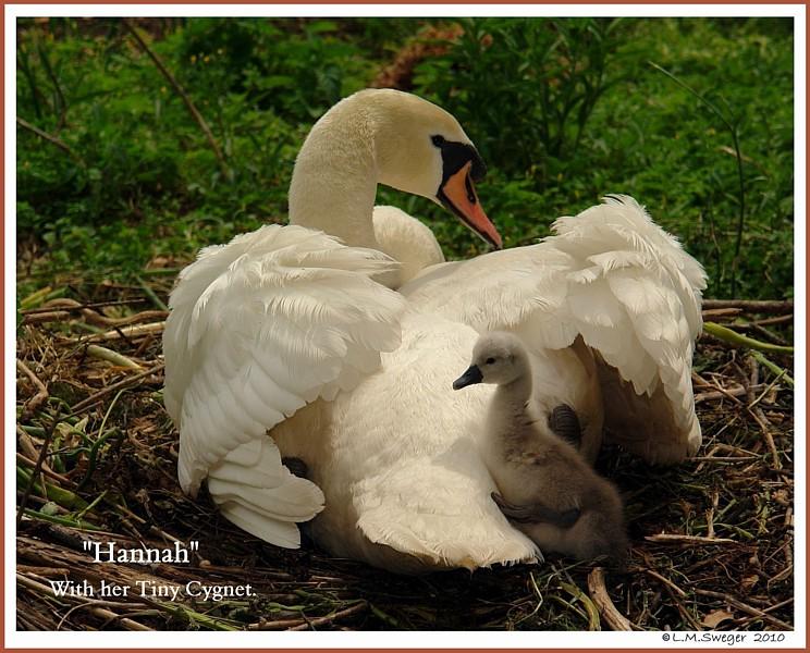 Nesting Mute Swan Hannah