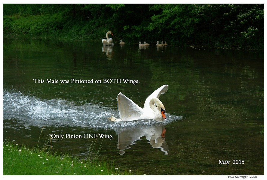 Pinioned Mute Swan Swans DNA-Sex Testing