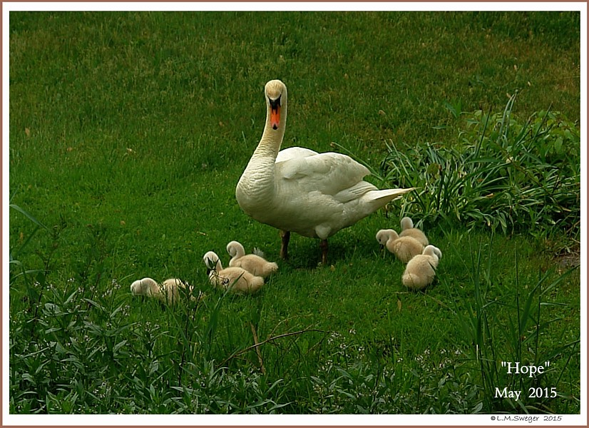 Nesting Mute Swan with Cygnets