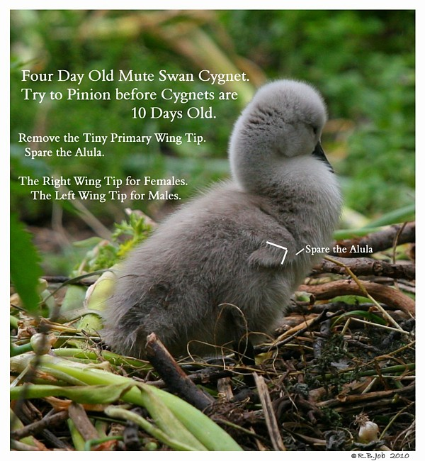Pinion Cygnets Swans DNA-Sex Testing