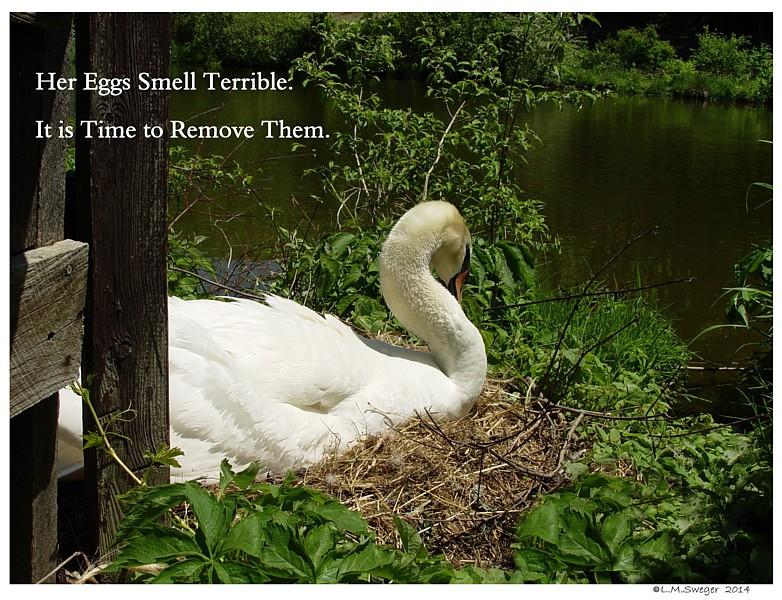 Nesting Mute Swan Swans DNA-Sex Testing
