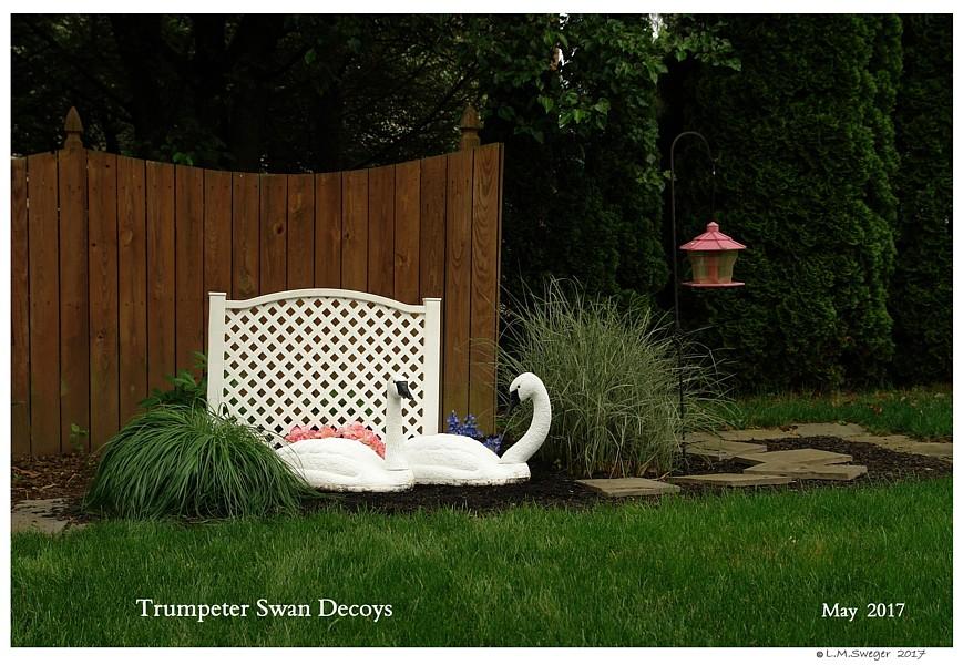 Trumpeter Swan Decoys