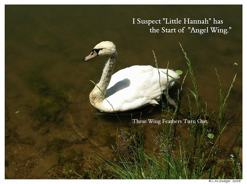 Swan Angel Wing  Captive Mute Swans Feeding Swans