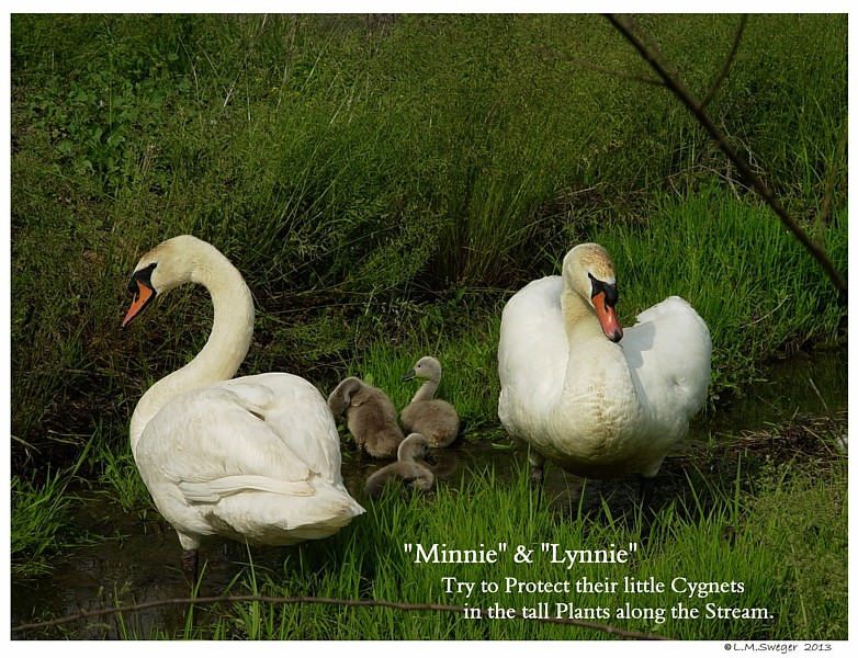 Mute Swan Family Swans DNA-Sex Testing