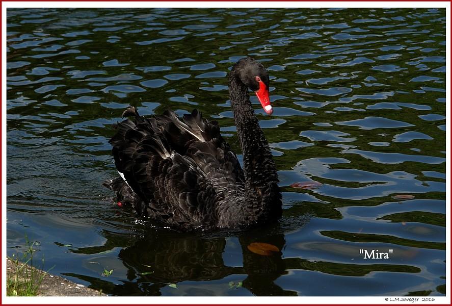 Black Austrailan Swan Mira