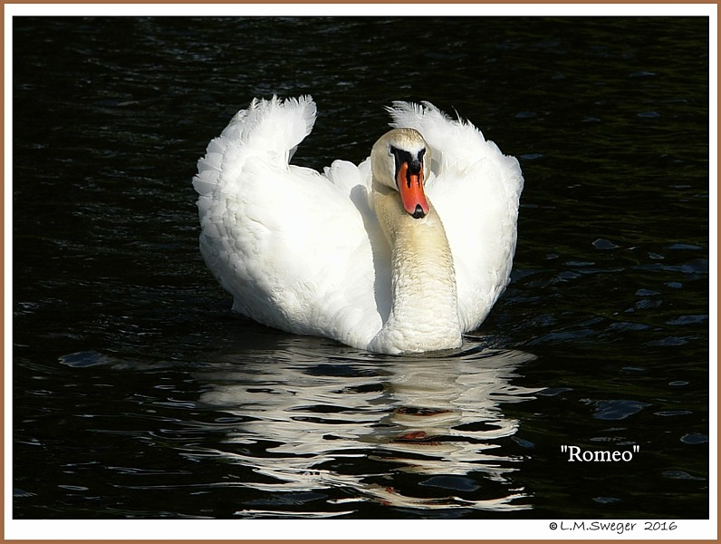 Male Mute Swan Romeo