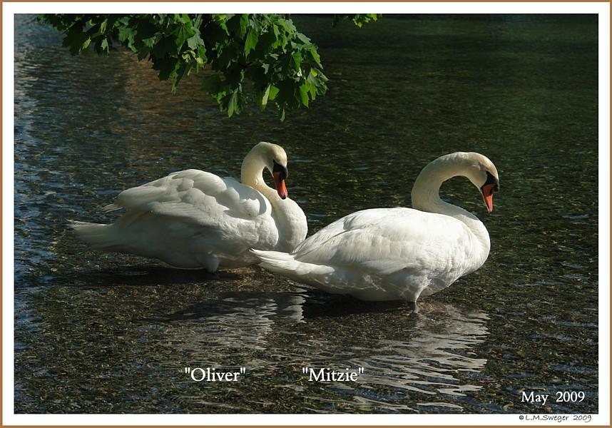 Mute Swan Pair  Oliver  Mitzie