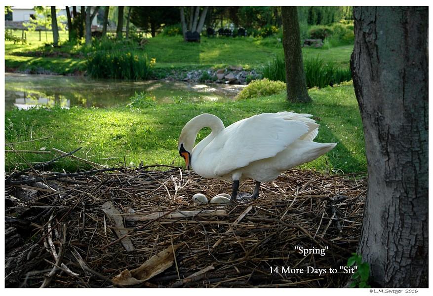 BIG Swan Eggs Captive Mute Swans Feeding Swans
