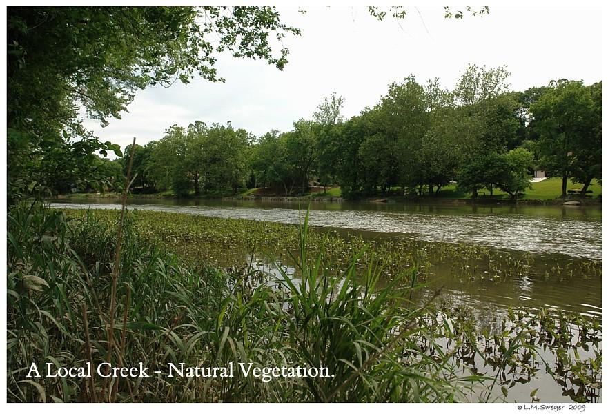 Natural Creek Captive Mute Swans Feeding Swans