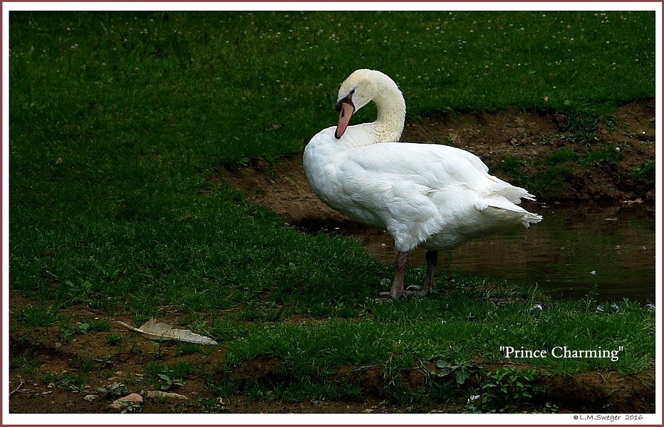 Young Mute Swan  Prince Charming