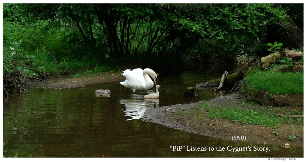 Swan Listens to Cygnets