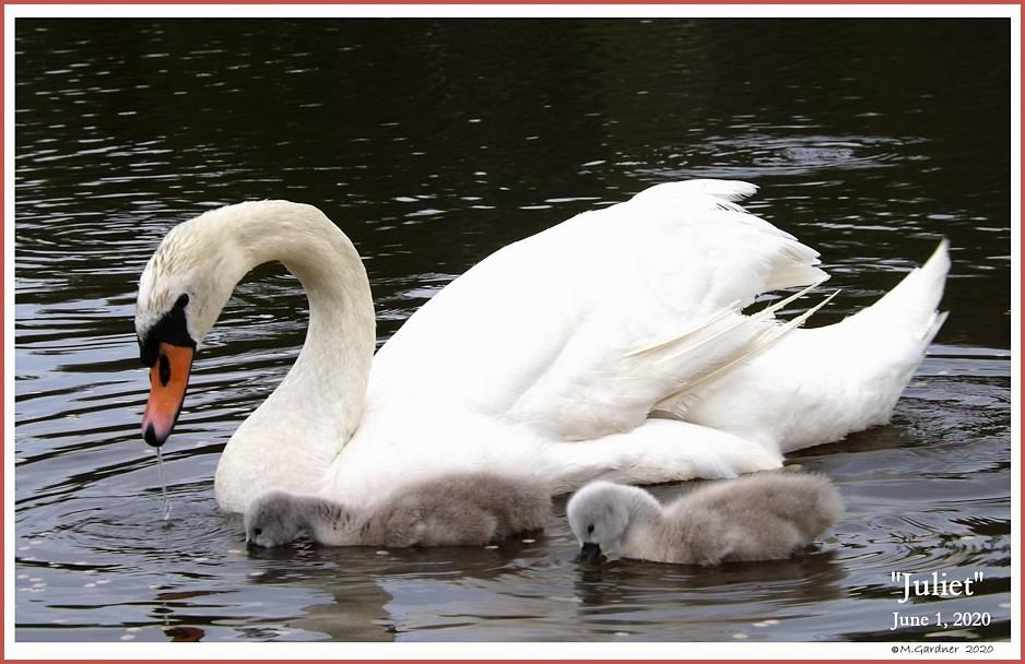 Mute Swan Pairs