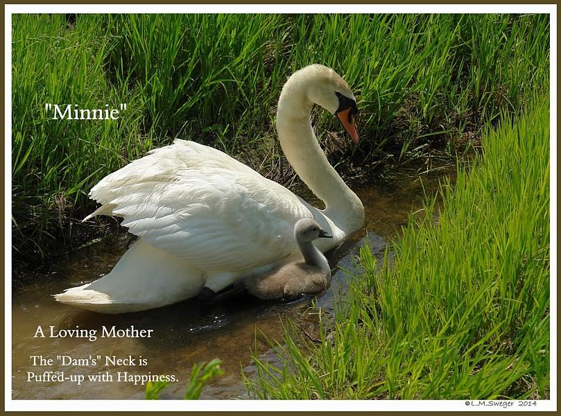 Swan Minnie Cygnet