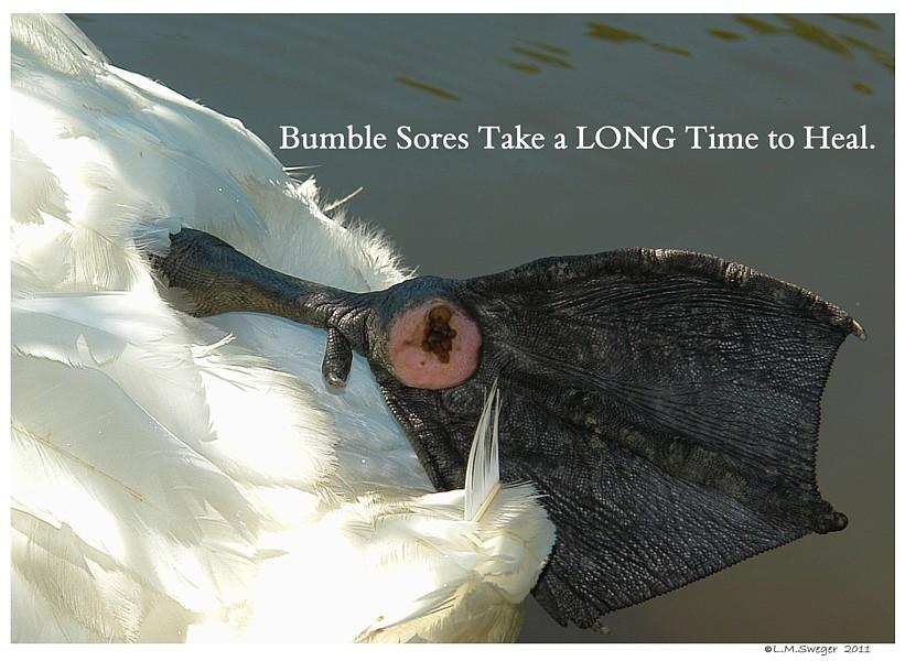 Swan Bumble Foot Sore