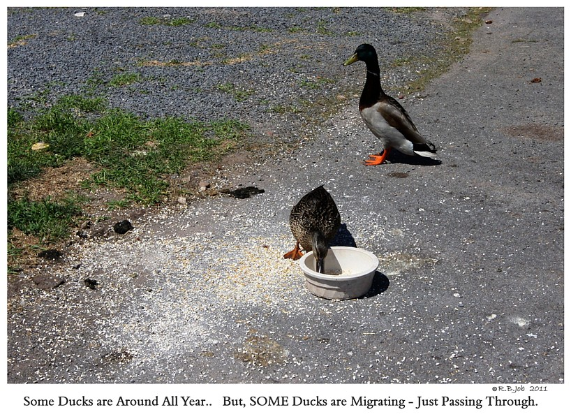 Migrating Ducks Captive Mute Swans Feeding Swans
