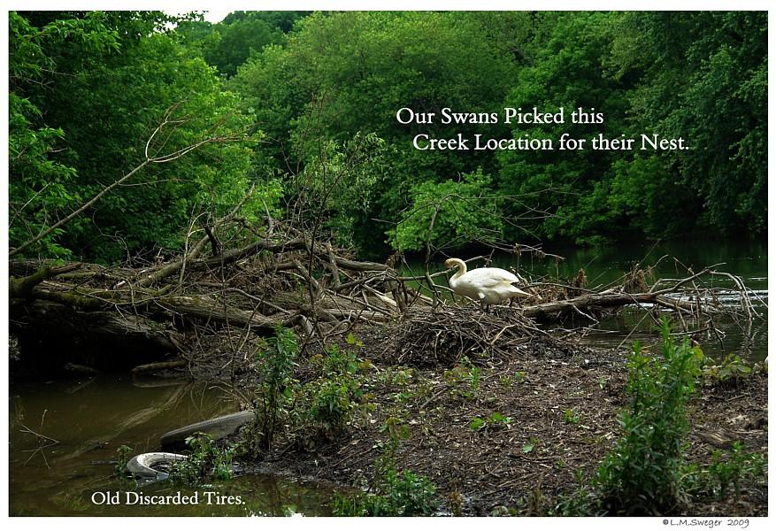 Mute Swan Nest