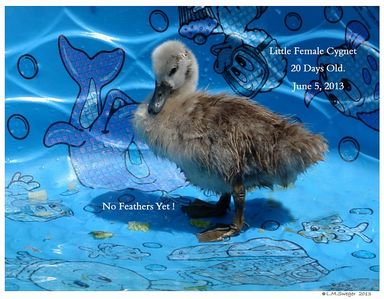 Mute Swan Cygnet Swans DNA-Sex Testing