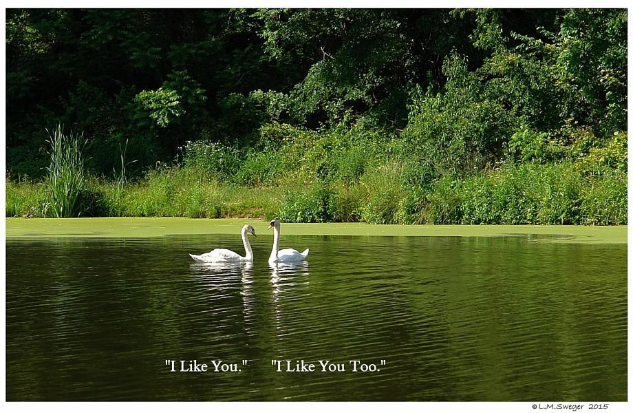 I Like You Swans