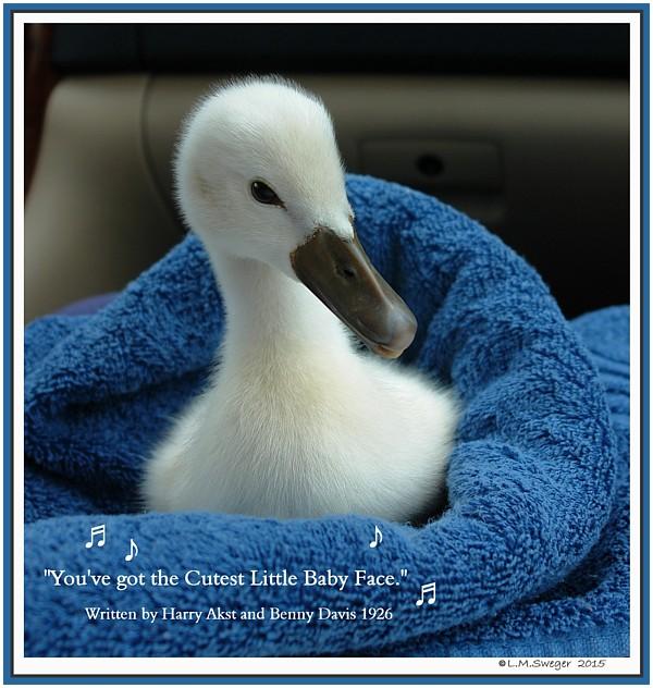 Polish Mute Swan Cygnet