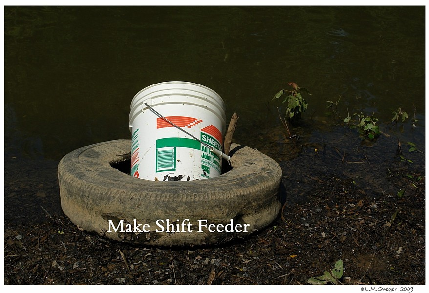 Tire Bucket Feeder Captive Mute Swans Feeding Swans
