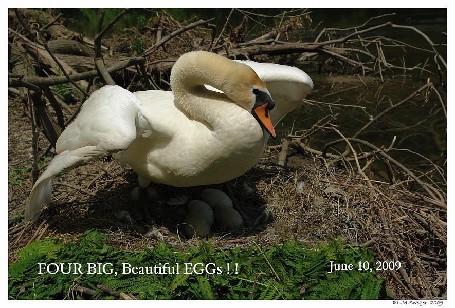 Nesting Mute Swan