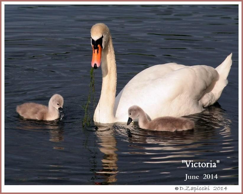 Female Mute Swan Victoria
