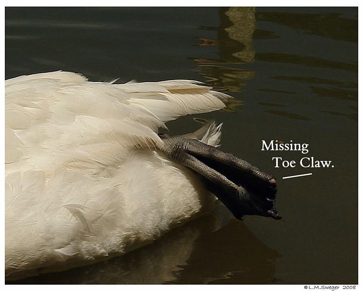 Swan Missing Toe Claw