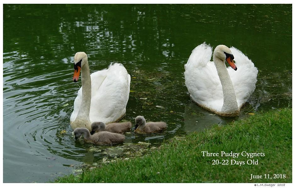 Rhode Island Mute Swans