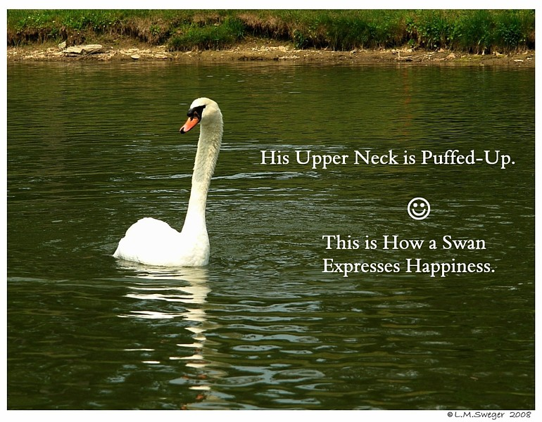 Swan Neck Puffed-up
