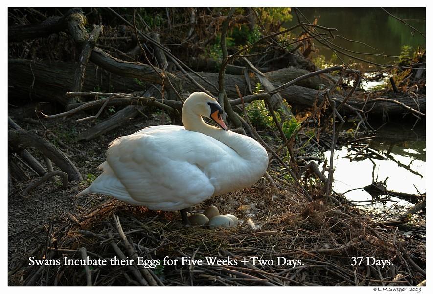 Nesting Female Mute Swan Swans DNA-Sex Testing