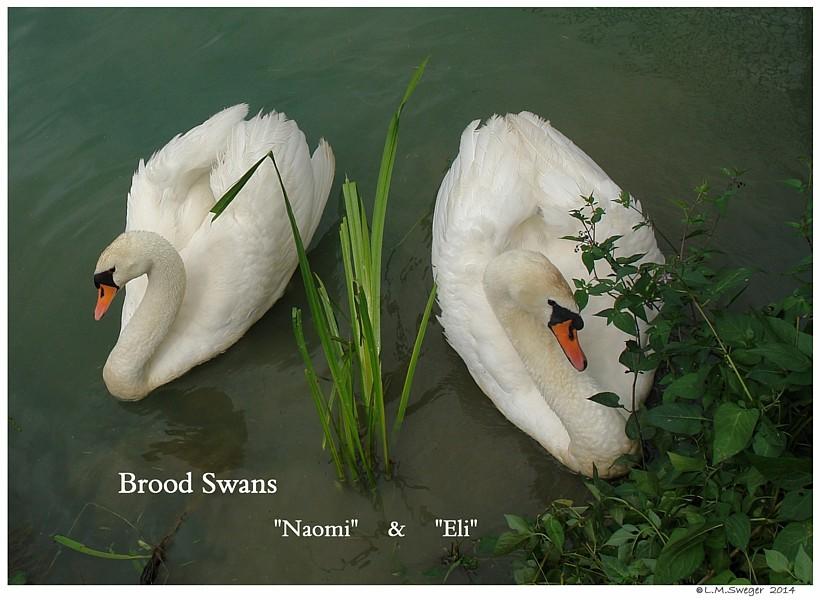 Brood Swans