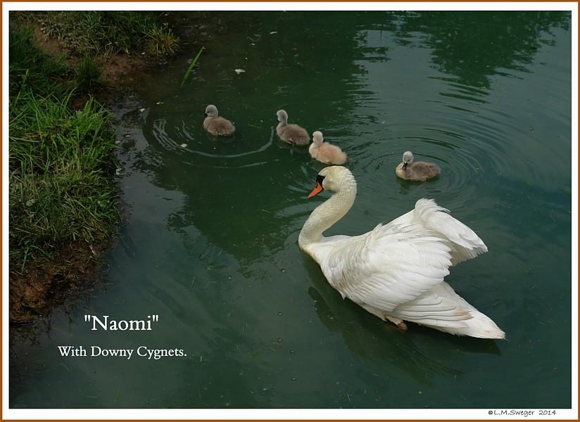 Mute Swan Naomi Cygnets