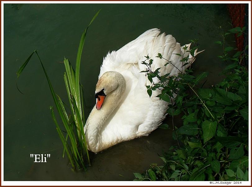 Mute Swan Sire Eli