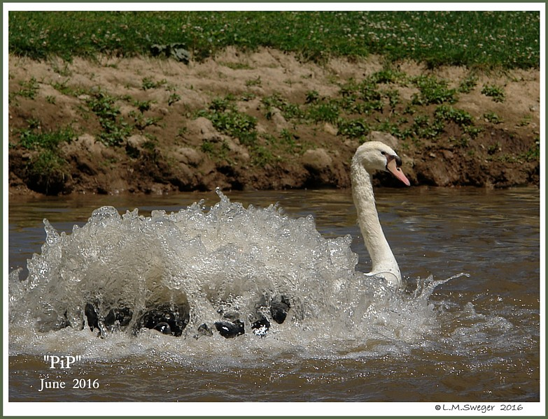 Swan Cygnet PiP Prince Charming