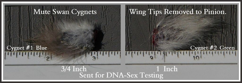 Swan Cygnet DNA Sex Testing Swans DNA-Sex Testing