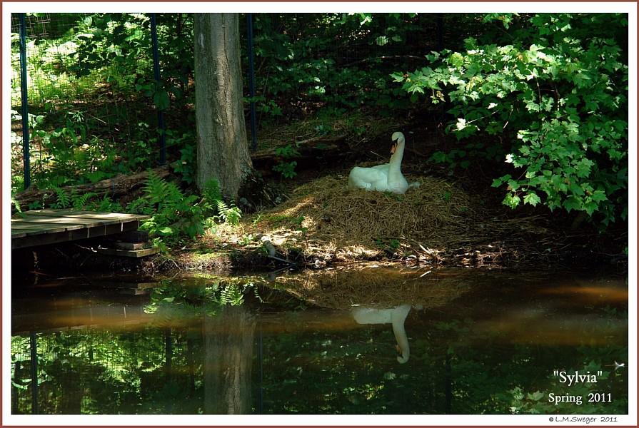 Nesting Mute Swan Sylvia
