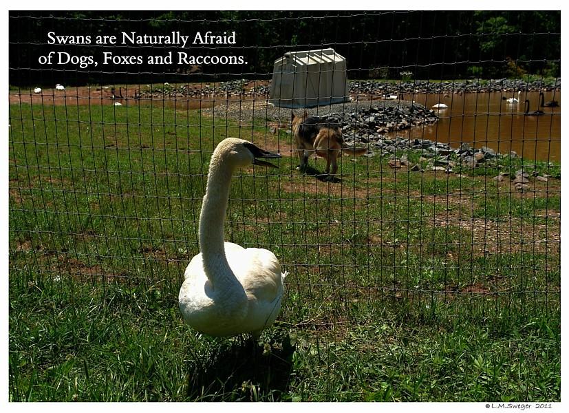 Swan Afraid Dogs