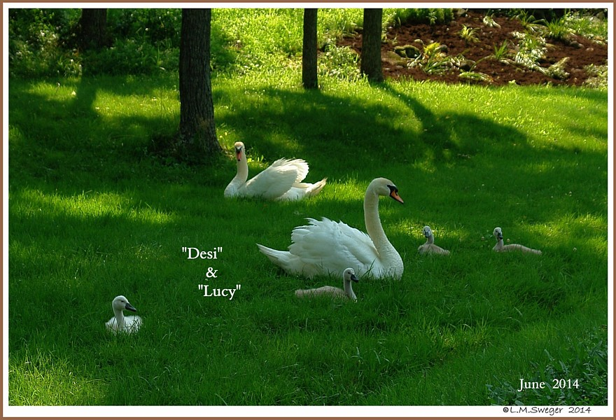 Mute Swan Family Desi Lucy