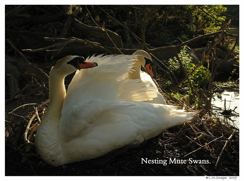 Nesting Feral Mute Swans