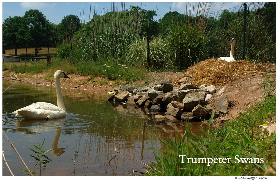 Trumpeter Swans Nesting
