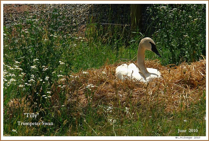 Nesting Trumpeter Swan Tilly