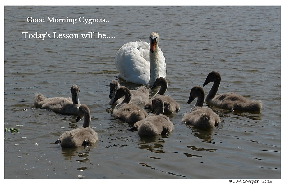 Swans are Intelligent