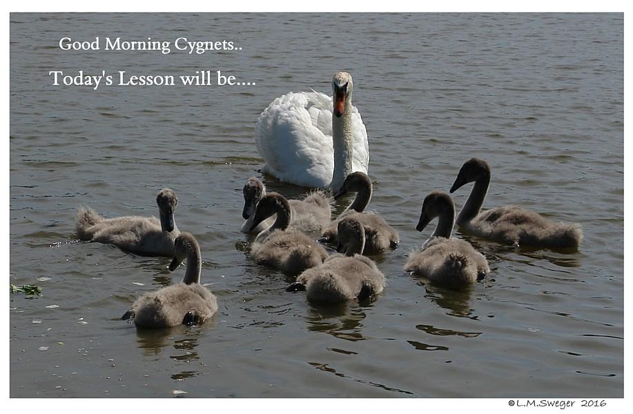 Swans are Intelligent