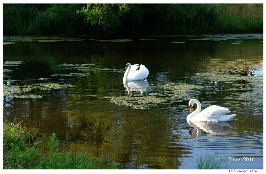 Mute Swan Brood Pair