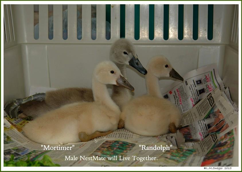 Rescued Mute Swan Cygnets Mortimer & Randolph