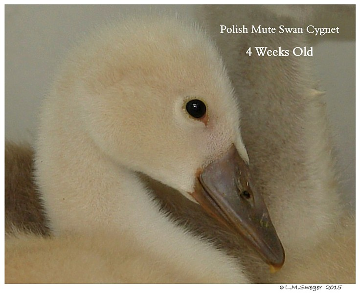 Male Polish Mute Swan Cygnet Swans DNA-Sex Testing